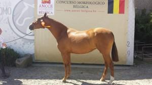 Marquesa VH, Capg-Horses, CM Flémalle 2016