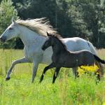 Dido II & Princesa de Capg, Capg-Horses, Sanne Harmsen Fotografie