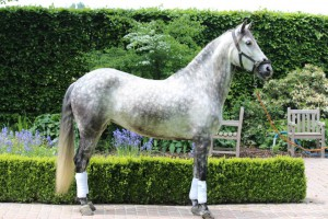 Favorita Maynou, Flanders Andalusians