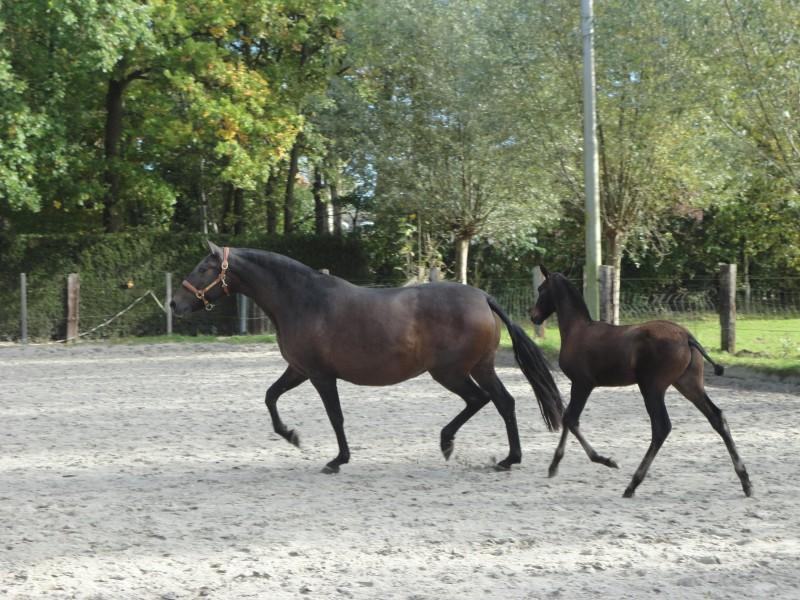 AA Lerato & Jaca II, Antwerp Andalusians