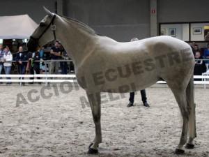 Querida S, Yeguada Van Hove, CM Oud-Heverlee 2014