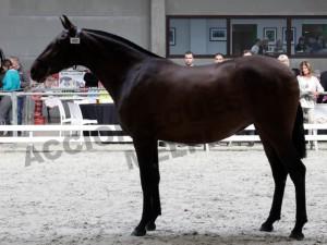 Furia CLXXXIV, Yeguada Defooz, CM Oud-Heverlee 2014