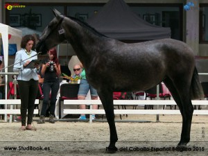 Gala Murillo LOP, Yeguada Lauvas, CM Oud-Heverlee 2015