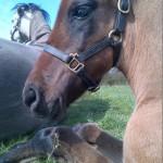 Brillante de Capg, Capg-Horses