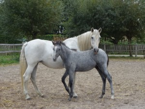 Florido XV & Camelia XXVII, Caballo de Fuerza