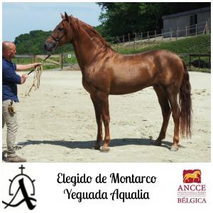 Elegido de Montarco - Yeguada Aqualia met logo 2