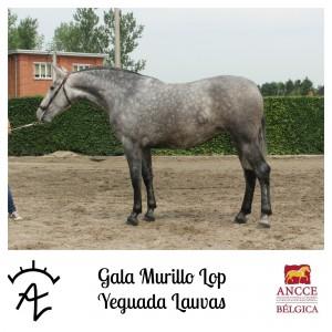 Gala Murillo LOP - Yeguada Lauvas met logo 2