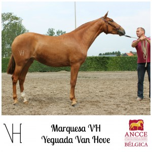 Marquesa VH - Yeguada Van Hove met logo 2