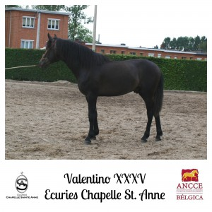 Valentino XXXV - Ecuries Chapelle Sainte Anne met logo 2