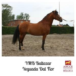 YMB Baltazar - Yeguada Dal Fior met logo 2